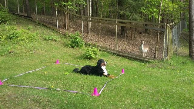 Bernes ganu suns Bernese Mountain dog Obedience