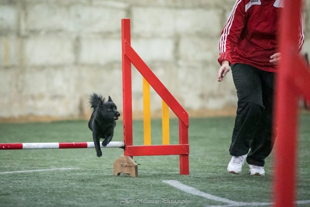 Agility adžilitī suņu sacensības