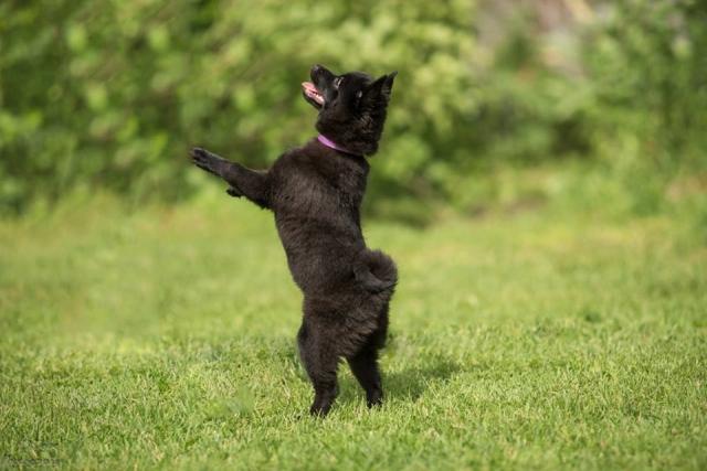 schipperke dancing suņu dejas